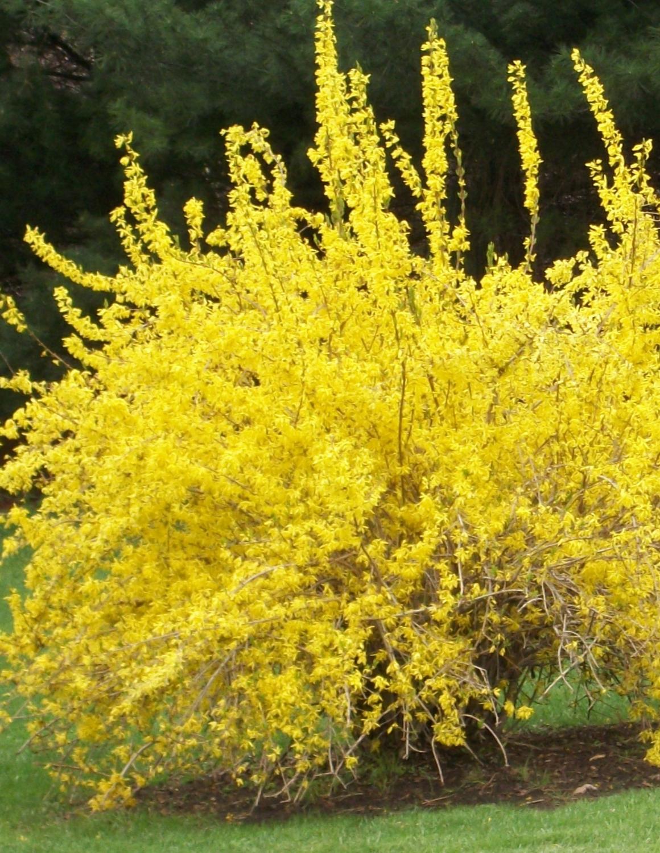 Куст цветущий желтыми цветами