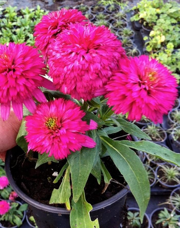 Цветы хоста посадка и уход
